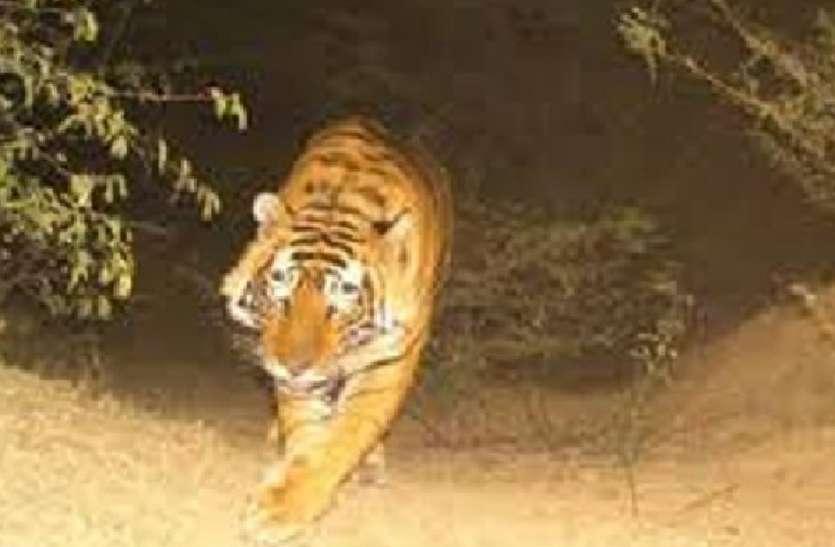 रणथम्भौर से निकलकर पहुंचे बाघ-बाघिन, 29 साल बाद गुलजार हुआ बूंदी का जंगल