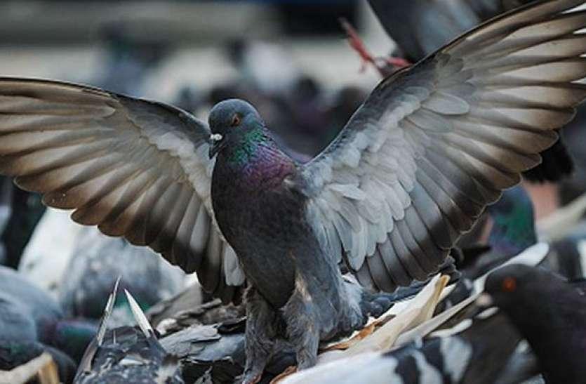 Catch A Pigeon Take Home Rs 1,000 As Reward - एक कबूतर पकड़ो और एक हजार  रुपए का इनाम पाओ | Patrika News
