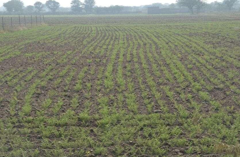 crop news : अजमेर जिले में चने की रिकॉर्ड बुवाई