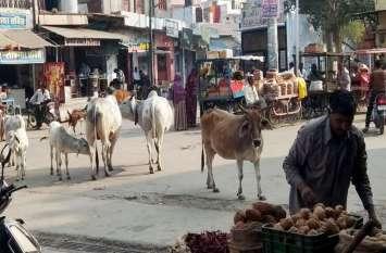 नोटिस जारी कर भूली नगरपालिका, बेसहारा मवेशियों का बाजार में उत्पात