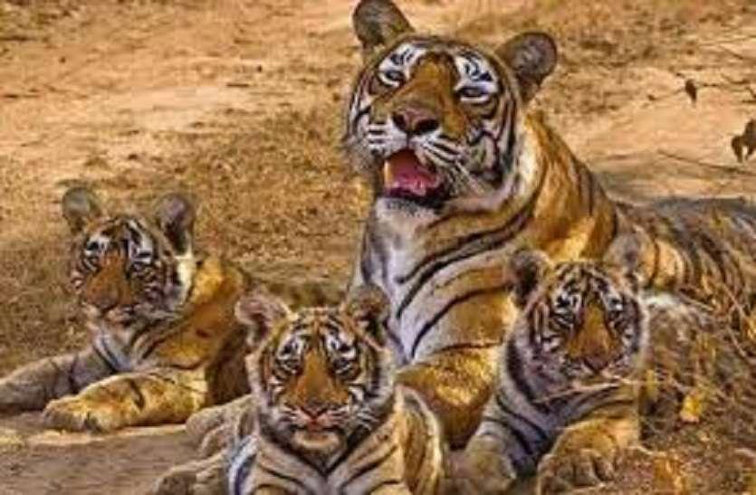 पुरखों के घर में गूंजी दहाड़, रणथंभौर से बाघों का रामगढ़ की ओर रुख