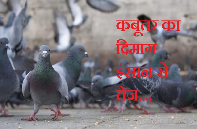 OMG! इंसानों से भी ज्यादा तेज होता है कबूतर का दिमाग, ये रिसर्च बता रही है कैसे