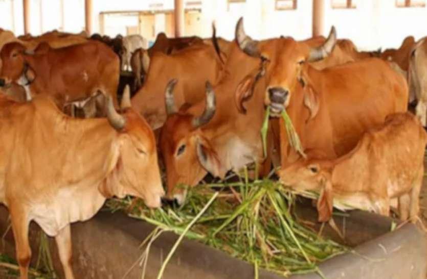 राजस्थान में यहां होगी हाईटेक गोशाला, गायों के लिए आइसीयू, 2 करोड़ से भी ज्यादा की आएगी लागत