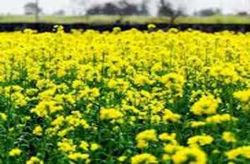 Baran--मौसम ने बढ़ा दी किसानों के माथे पर चिंता की लकीरें, पीले सोने की फसल लहलहा रही
