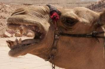 राजस्थान में ऊंट ने हमला कर मालिक को मार डाला