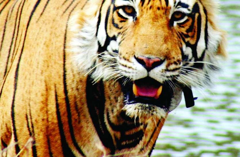 सरिस्का में बाघों को  हो सकता है टेरिटरी का संकट