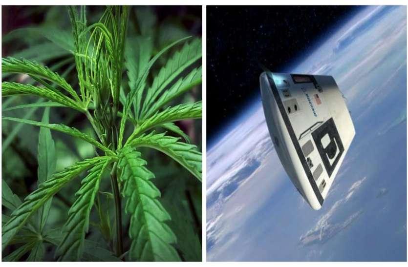 अंतरिक्ष में भेजा जाएगा गांजा, कैप्सूल में भरकर किया जाएगा प्रयोग