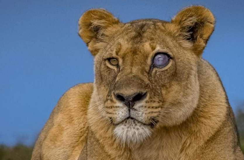 इंटरनेट पर वायरल हुई नीली आंख वाली शेरनी, सच्चाई जान खड़े हो जाएंगे रोंगटे