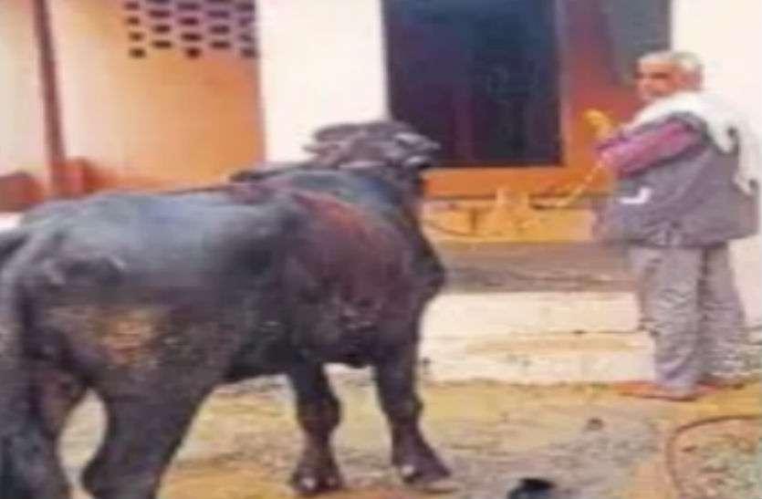 हनुमानजी की 'कोर्ट' में पांच मिनट में हो गया भैंस के असली मालिक का फैसला