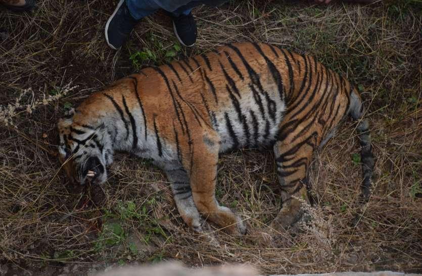 बाघ के हमले में हुई बाघिन की मौत ने खड़़े़े कर दिए कई सवाल, बाघिन के केयरटेकर और विशेषज्ञ ये बोले..