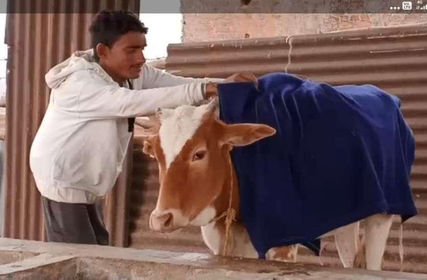 कंपकंपाती ठंड से गौठान में रखे मवेशियों को बचाने तैयार किया जा रहा कंबल