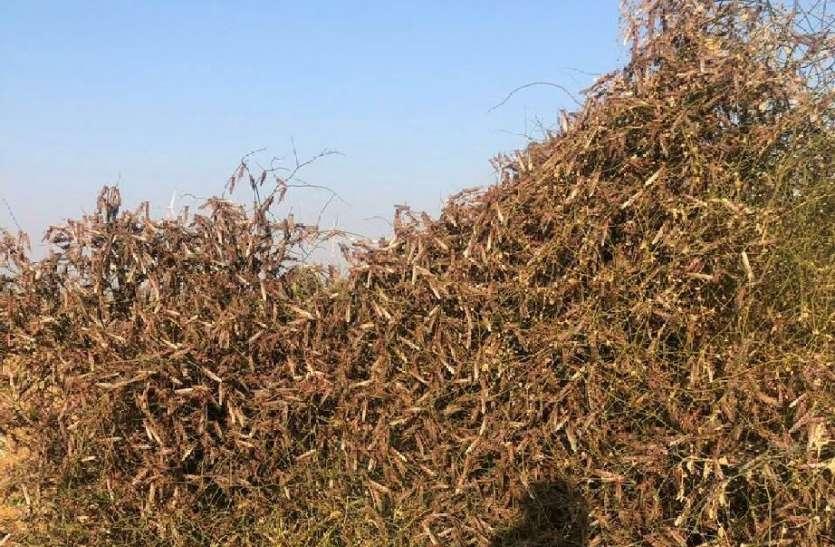 नहरी क्षेत्र में टिड्डी दल का धावा,किसानों की उड़ी नींद