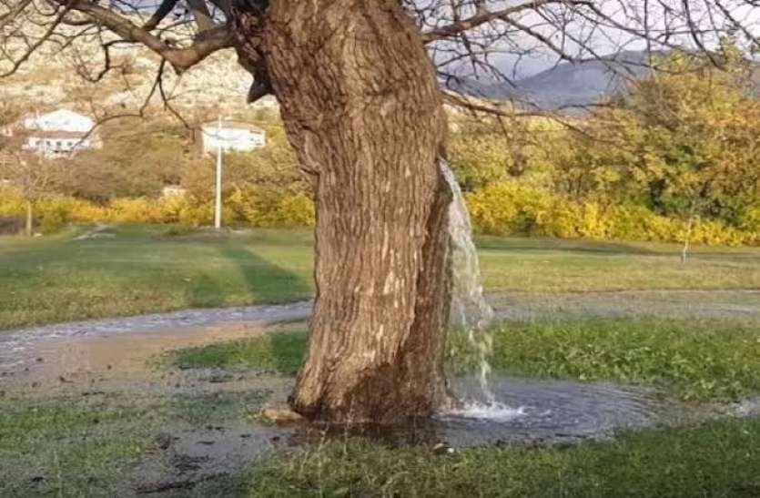 पेड़ से अपने आप निकलता है पानी, वैज्ञानिक भी नहीं सुलझा सके राज