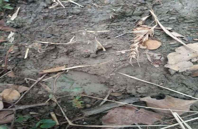 राजनांदगांव और बालोद जिले के बाद बाघ पहुंचा दुर्ग जिले में, गाय पर हमला और खेत में मिले पैर के निशान