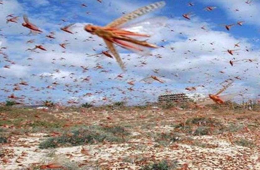 करोड़ों की अनार की उम्मीदों पर टिड्डियों का ग्रहण