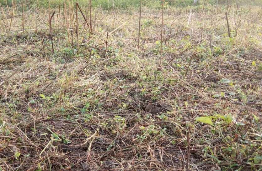 असमय वर्षा में सावधानी रखने की कृषि वैज्ञानिकों ने दी सलाह