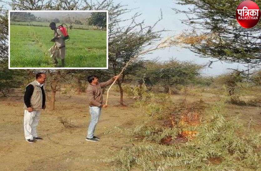 गोडवाड़ नहीं छोड़ रही टिड्डियां, किसान परेशान