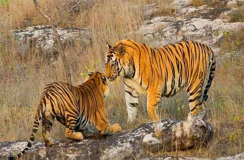 अब रणकपुर के निकट मोडिय़ा मगरी में टाइगर के लिए बनेगा एनक्लोजर, ढाई करोड़ रुपए होंगे खर्च