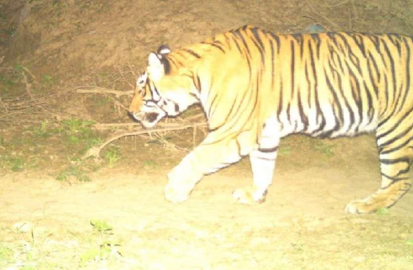 बूंदी  जिले में इस जगह तीन माह से दो बाघों ने बनाया अपना आशियाना