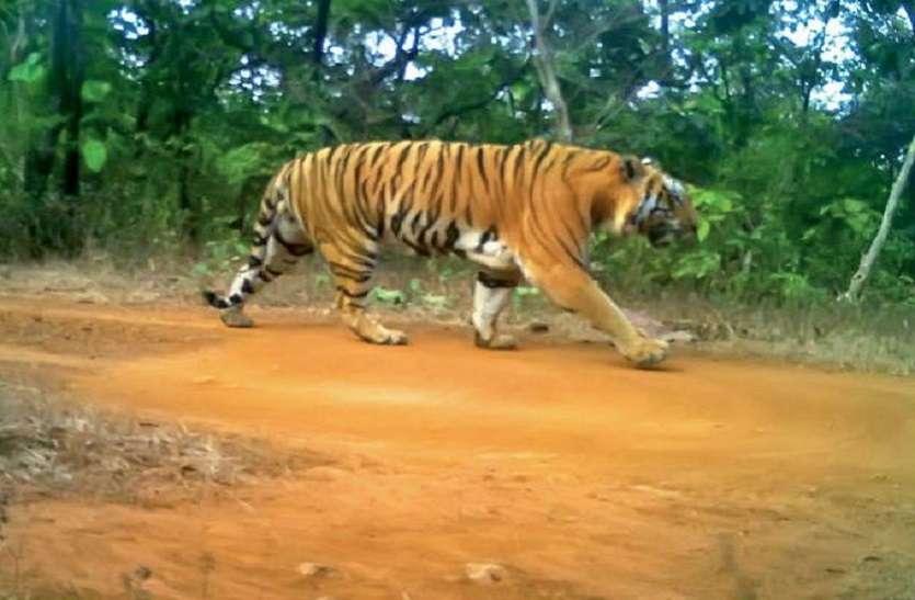 कान्हा के पिंजरे में 10 माह से कैद बाघ को छोडऩे को लेकर NTCA और वन विभाग आमने-सामने