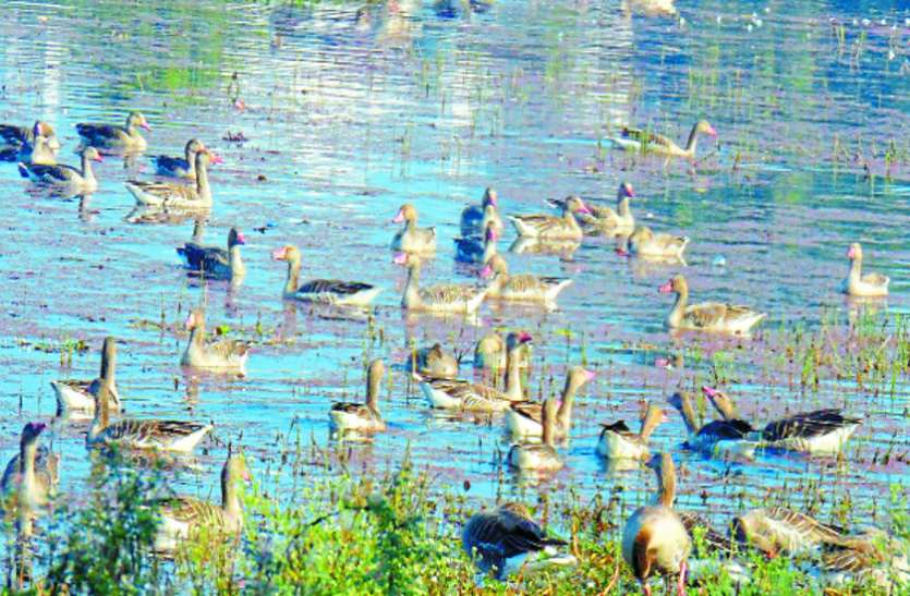 मध्यप्रदेश के इस खूबसूरत शहर में अफ्रीका, यूरोप और हिमालय से आ रहे प्रवासी पक्षी