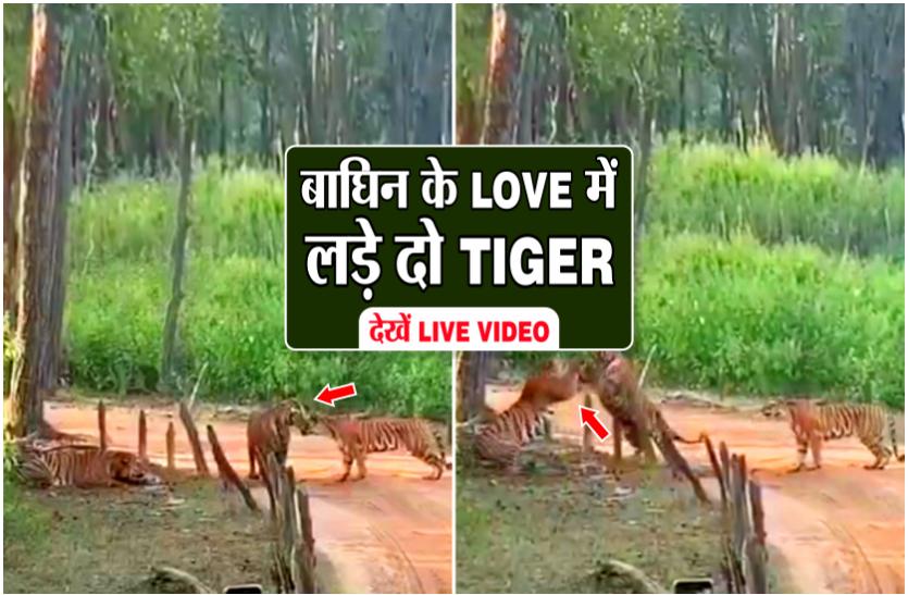 बाघिन पर आया दो बाघों का दिल, इंप्रेस करने के लिए किया झगड़ा, एक घंटे की कोशिश के बाद भी नहीं मानी