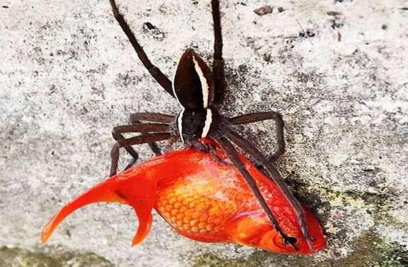 गर्लफ्रेंड को खुश करने के लिए लाया था मछली, मकड़ी ने कर डाला शिकार