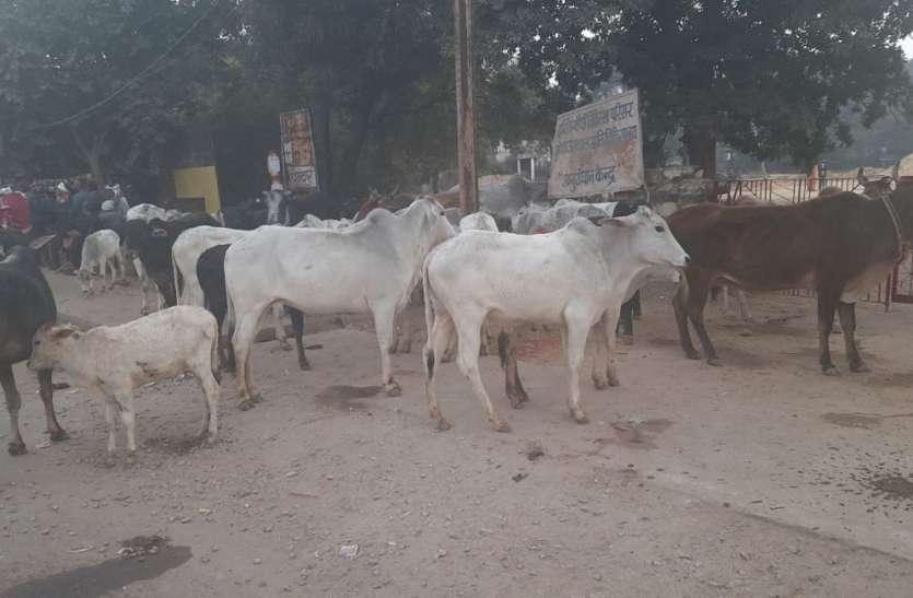 उटीला से सैकड़ों गाय-बैल हांककर लाए ग्रामीण, सडक़ पर छोडऩे की दी धमकी