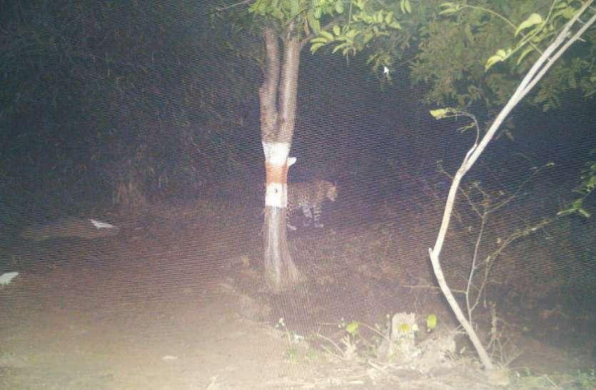 ठाकुरताल में ट्रैप कैमरे में दिखी मादा तेंदुआ, अब शावकों की तलाश होगी