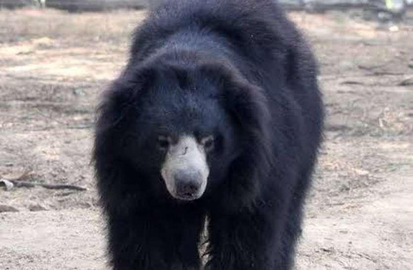 बिजली विभाग की लापरवाही, करंट की चपेट में आने से भालू की हुई मौत