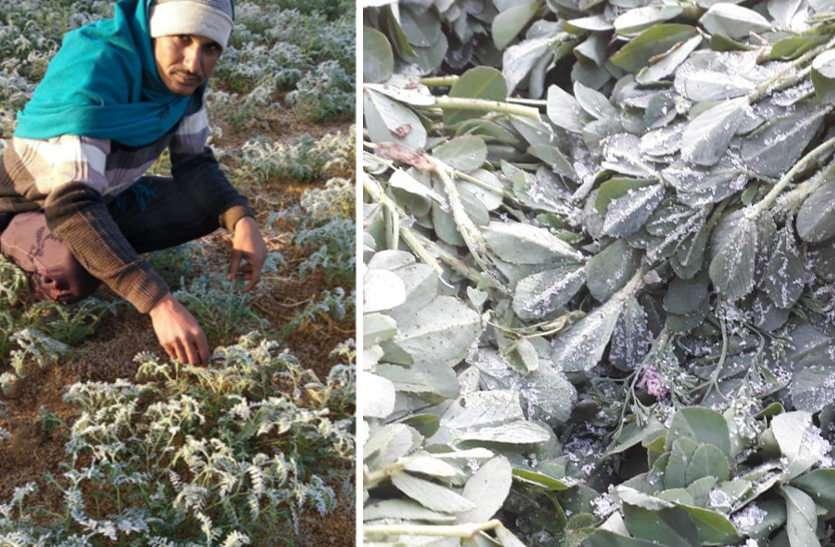खेतों में जमी बर्फ, पाले की मार से सब्जी की फसल हुई बेहाल, मटर, टमाटर व मिर्च हुई चौपट