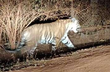 मादा साथी की तलाश में भटक रहा बाघ, 15 दिन पहले राजनांदगांव में आया था नजर