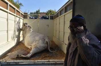 गाय तड़पती रही, वो रोता रहा, प्रशासन देखता रहा