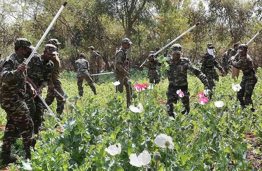 अतिनक्सल क्षेत्र से पुलिस ने 15 एकड़ अफीम की खेती नष्ट की