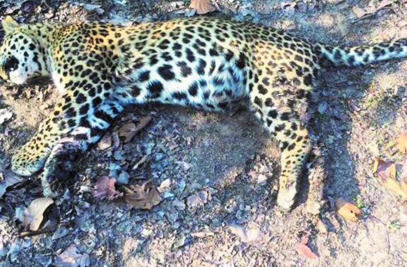 बंदर का शिकार करने के लिए बाघ और तेंदुए में हुई आपसी लड़ाई, वर्चस्व की जंग में तेंदुए की मौत