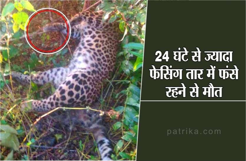 शिकारियों के बिछाए जाल में फंसा तेंदुआ, 24 घंटे से ज्यादा फेसिंग तार में फंसे रहने से मौत