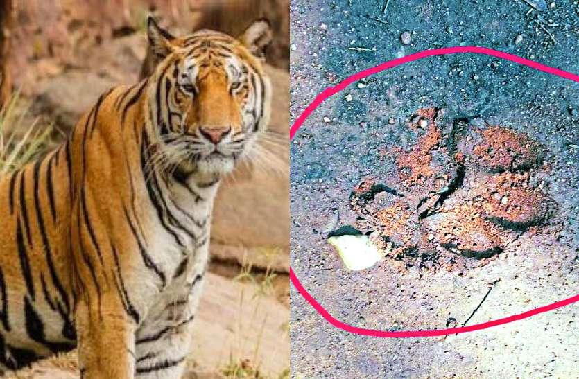 कांकेर: चारामा के जंगल पहुंचा बाघ, मिले पंजे के निशान, ग्रामीणों में दहशत का माहौल