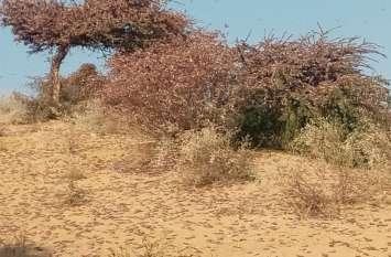 नेहड़ व बाड़मेर की सीमा में टिड्डी का पड़ाव