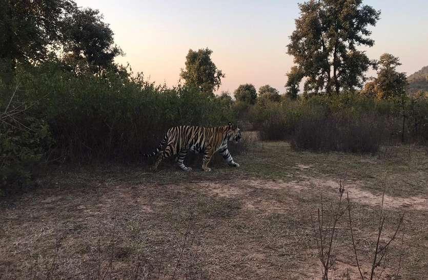 घास काट रहे किसान पर बाघ ने किया हमला