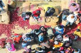 INDORE : रिकॉर्ड कीमतों के बाद प्याज के बंपर उत्पादन की उम्मीद