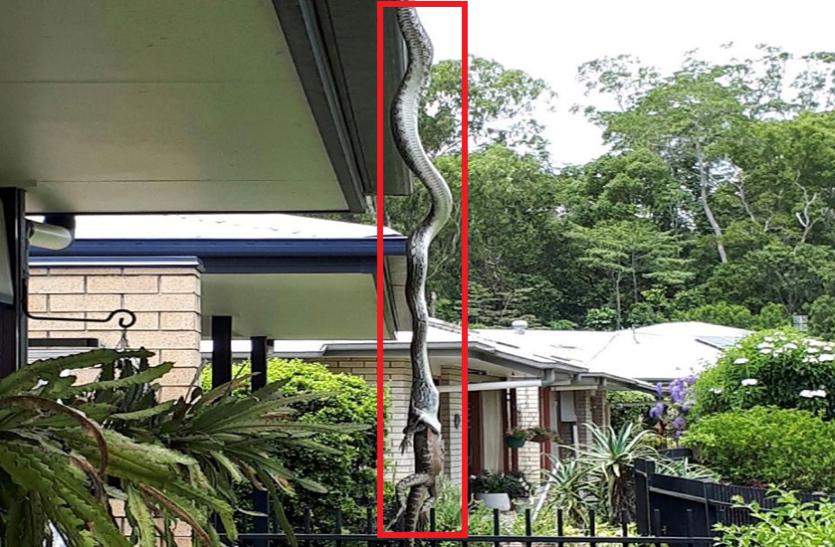 घर की छत पर लटका सांप और निगल गया इतनी बड़ी छिपकली, फोटो कैमरे में कैद