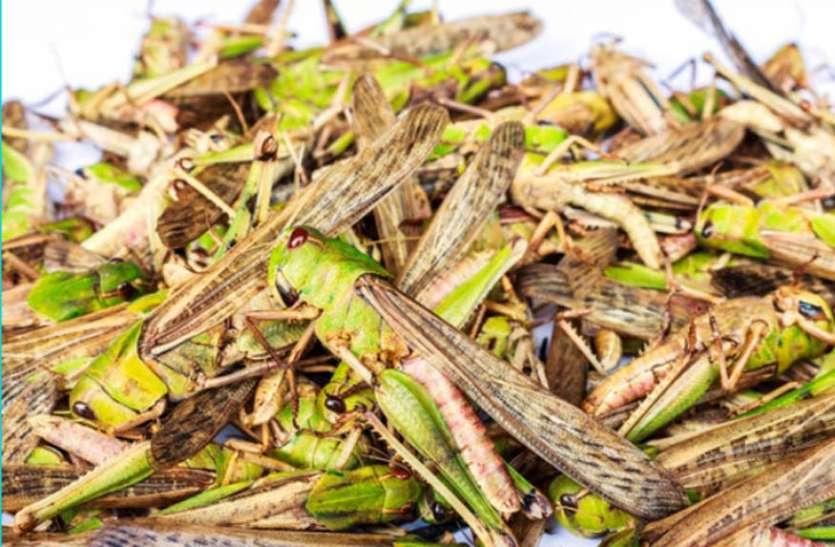 Grasshopper Team Reached Sangaria - टिड्डी दल ...