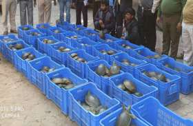 यूपी में प्रतिबंधित कछुओं की बड़ी खेप पकड़ी गयी, शक्तिवर्धक दवाओं में होता है इस्तेमाल, 1000 रुपये किलो है कीमत