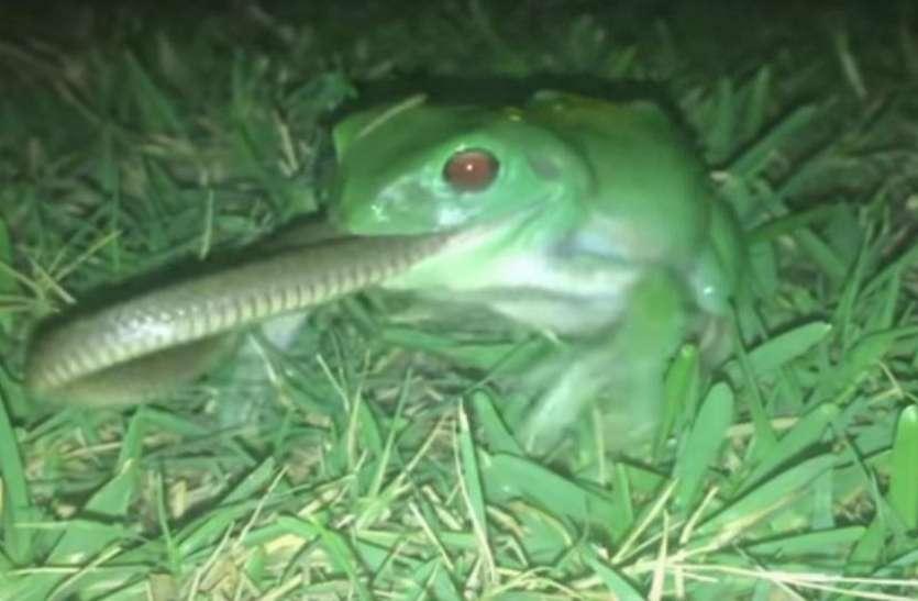 Image result for coastal taipan snake frog