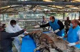 पीलीभीत में बरामद हुआ बाघिन का शव