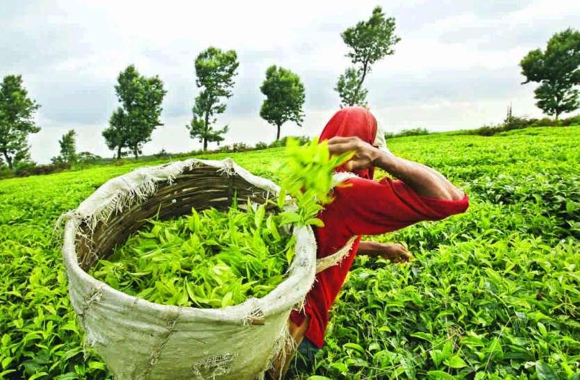 नीलगिरि में छोटे काश्तकार करते हैं 70  फीसदी चाय का उत्पादन