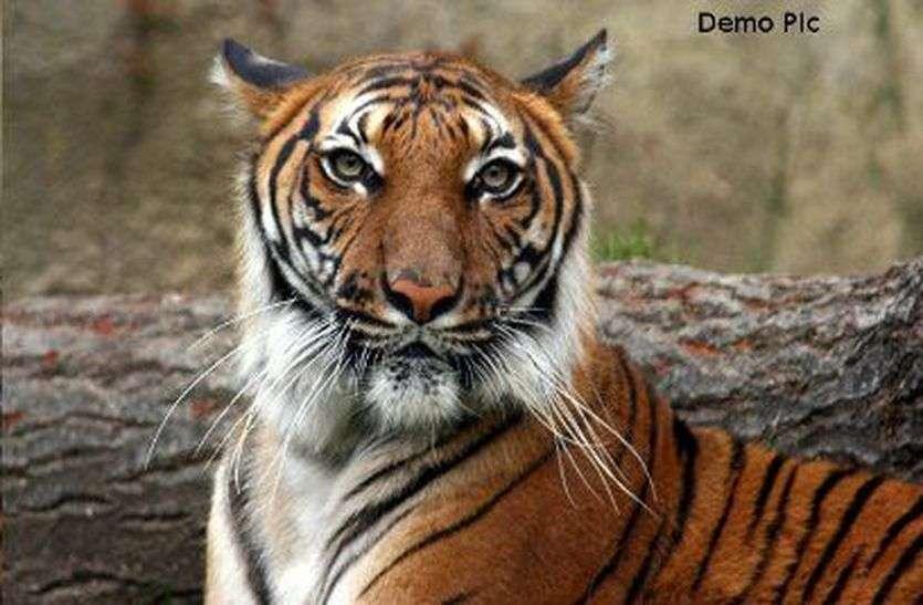 एक घंटे चला रेस्क्यू, बाघ शावक को भेजा गया संजय टाइगर रिजर्व