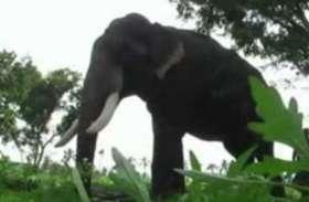 जानें क्यों सतरेंगा में प्रदेश सरकार की कैबिनेट की बैठक से पहले अचानकमार से लाया जा रहा कुमकी हाथी