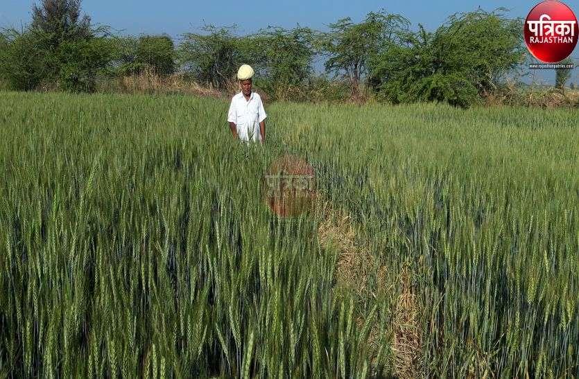 रबी करेगी मालामाल, किसानों के घर आएगी 700 करोड़ रुपए से ज्यादा की उपज, पढ़ें पूरी खबर...