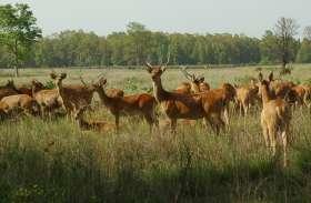 कुनबा बढ़ाने कान्हा से सतपुड़ा पहुंचे 13 बारहसिंगा, बारहसिंगा को लेकर चर्चित है कान्हा नेशनल पार्क